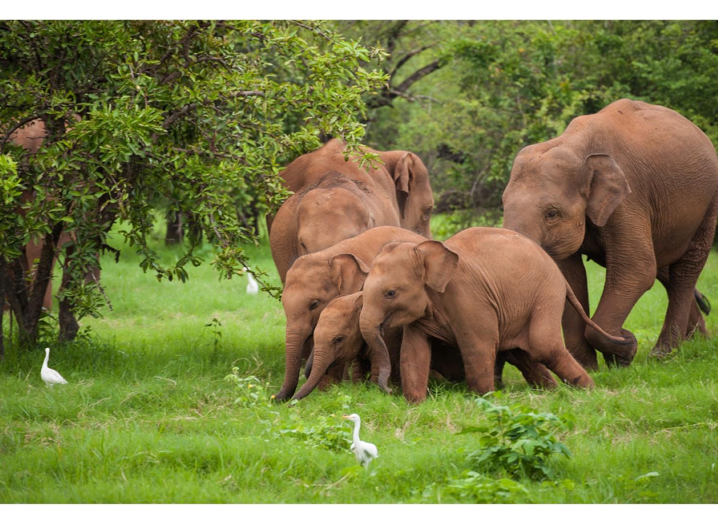 PG-Sri-Lankan-Elephant-Family-1300x950 (Large)