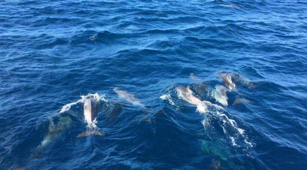 Dolphins Sao Miguel